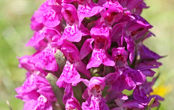 Northern March Orchid: John Clare